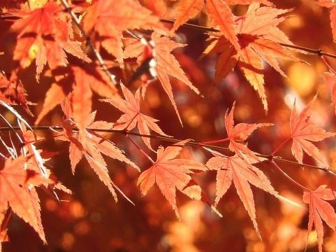 京都 紅葉 時期 清水寺